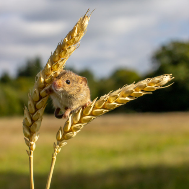 """""""Harvest Time."""" stock image"""