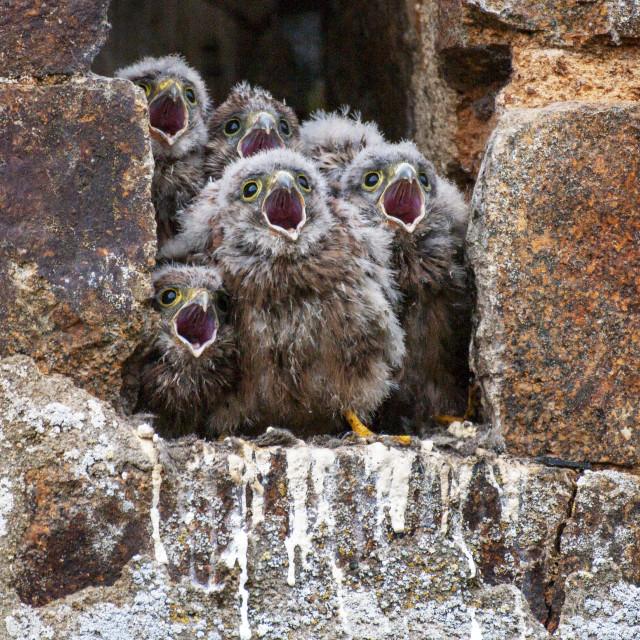 """Five Kestrel chicks"" stock image"