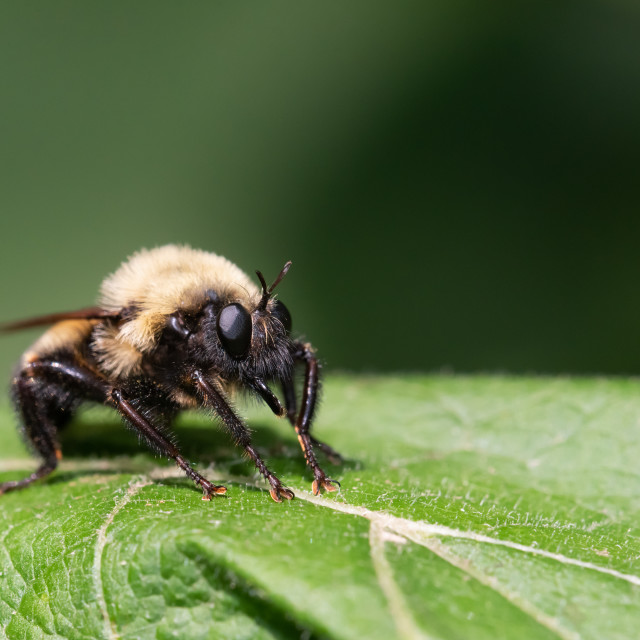 """""""Bumble bee mimic robber fly (Laphria thoracica)"""" stock image"""