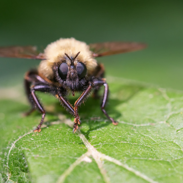 """""""Bumble bee mimic robber fly in Toronto, Ontario"""" stock image"""