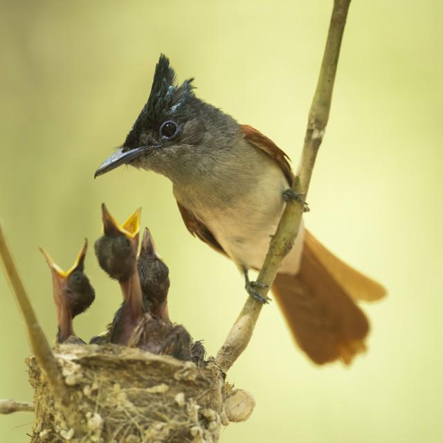"""Asian paradise flycatcher feeding Chicks"" stock image"