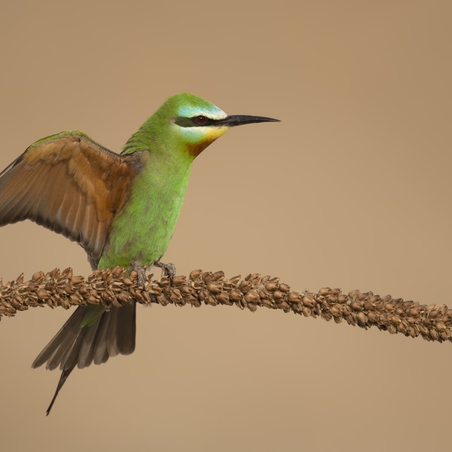 """""""Blue Cheeked Bee Eater"""" stock image"""