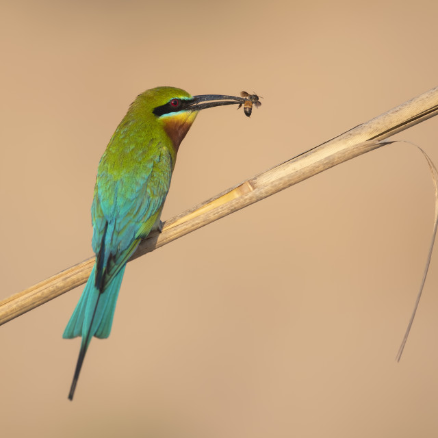 """""""Blue tailed bee eater"""" stock image"""