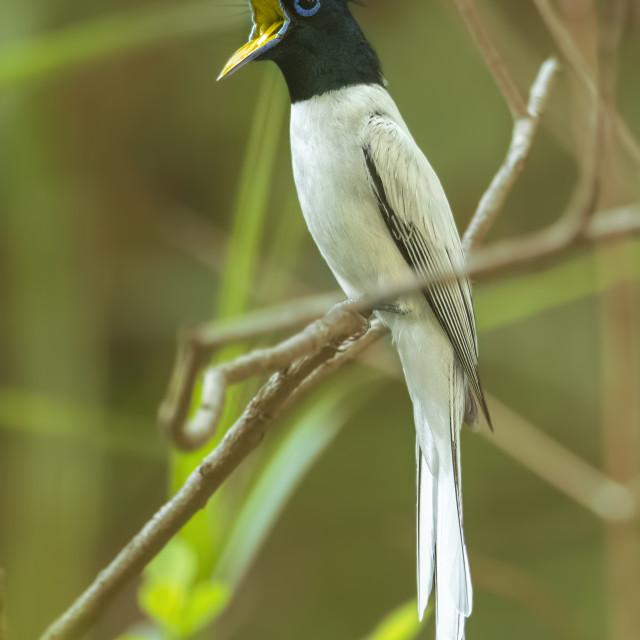 """Asian paradise flycatcher"" stock image"