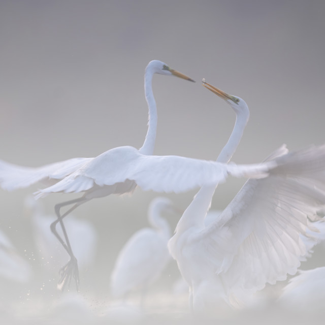 """""""Fight of Great egrets"""" stock image"""