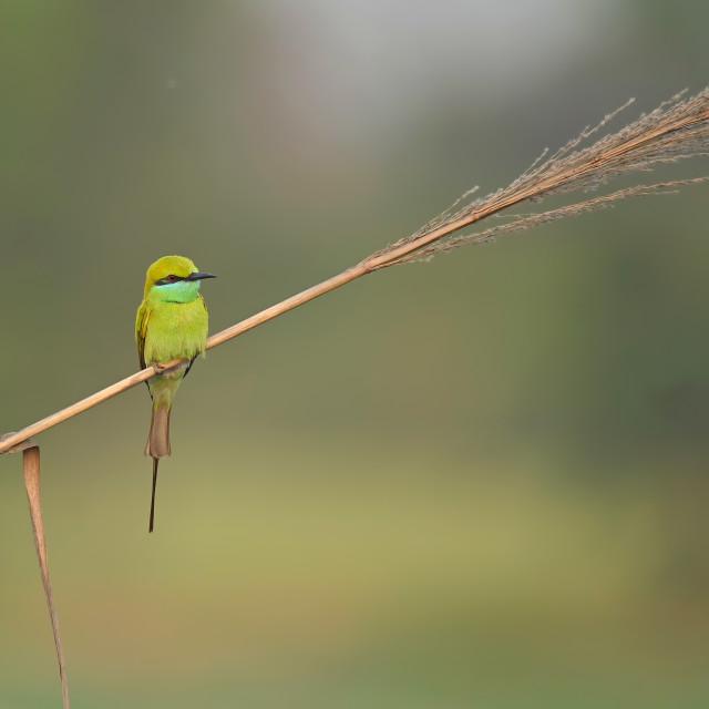 """Little green bee eater"" stock image"