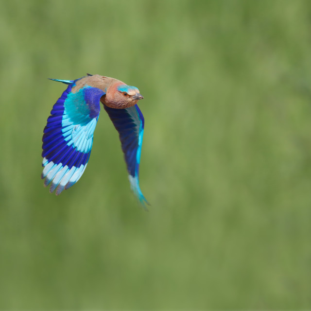 """""""Indian Roller Flying"""" stock image"""