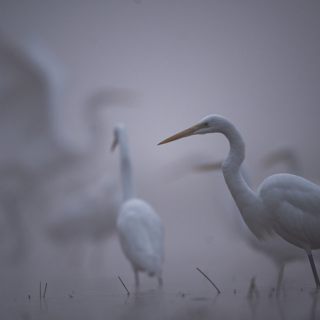 """""""Flock of Great Egrets fishing in misty morning"""" stock image"""