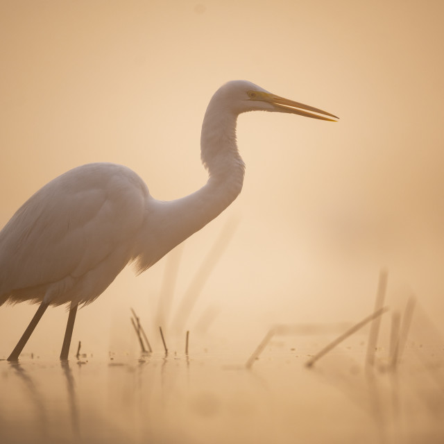 """""""Great Egrets fishing in misty morning"""" stock image"""
