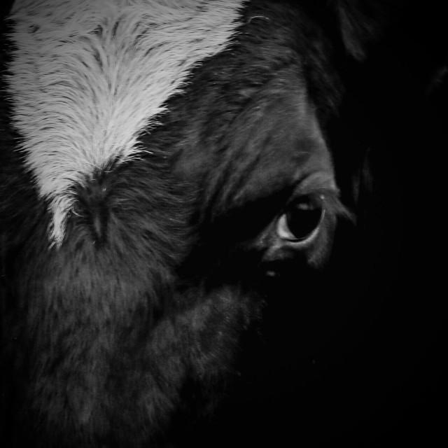 """""""Cow eye"""" stock image"""