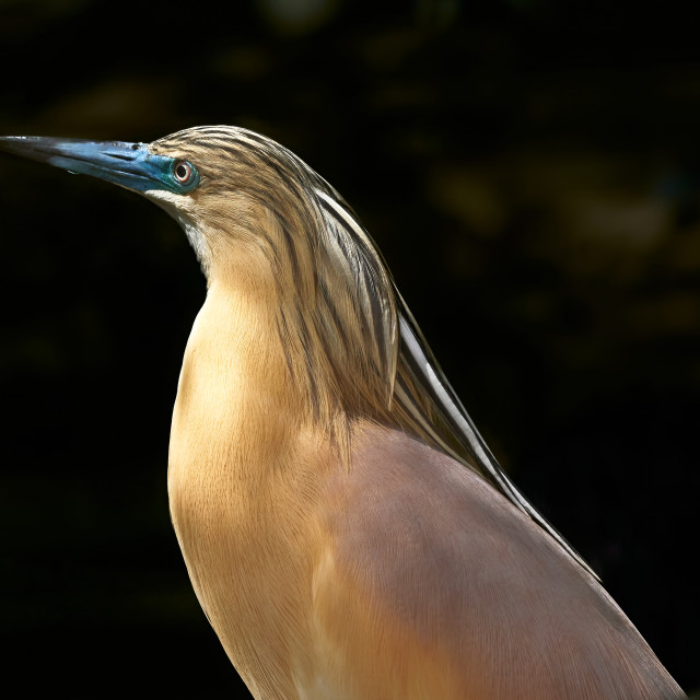 """""""Portrait of the squacco heron in the breeding plumage during the courtship season."""" stock image"""