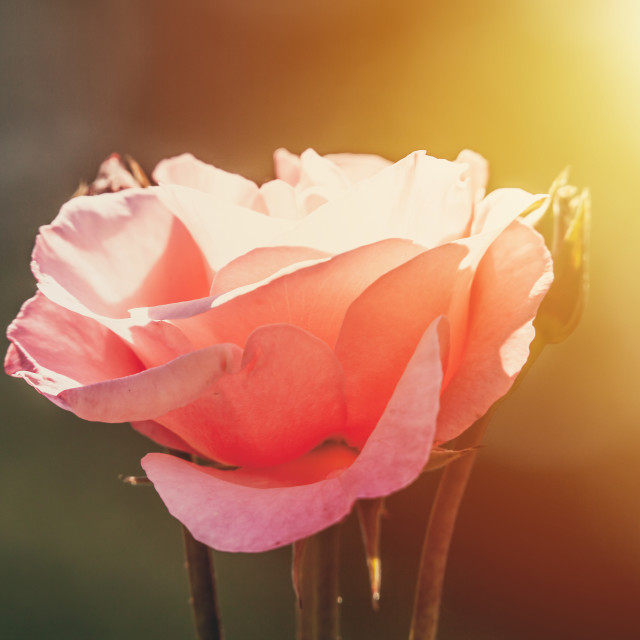 """""""Pink rose lit by morning sun natural background"""" stock image"""