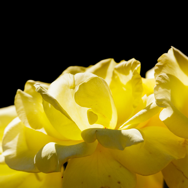 """""""Yellow rose petals lit by sun isolated on black background"""" stock image"""