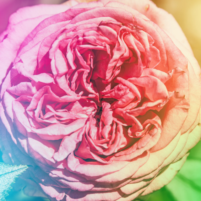 """""""Pink rose with colorful background"""" stock image"""