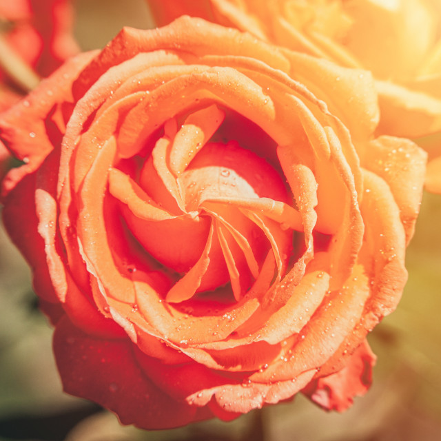 """""""Red rose lit by morning sun background"""" stock image"""