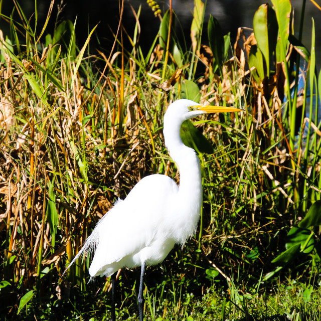 """""""Great White Egret Standing At Waters Edge"""" stock image"""