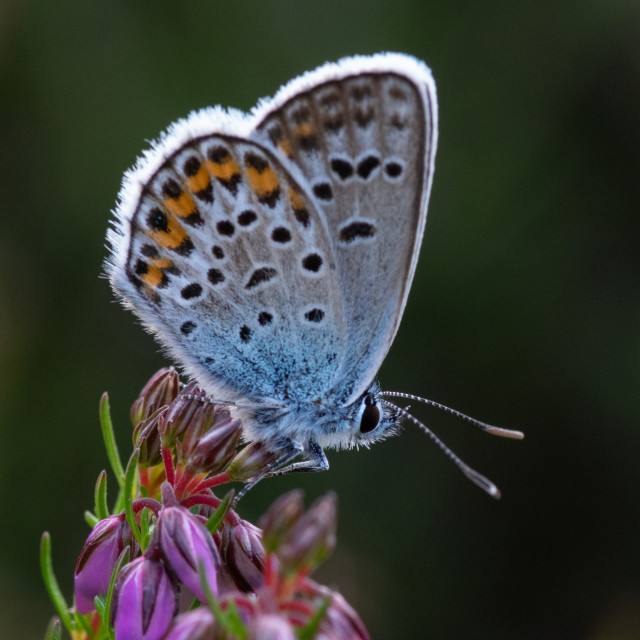 """""""Silver studded blue June 2021"""" stock image"""