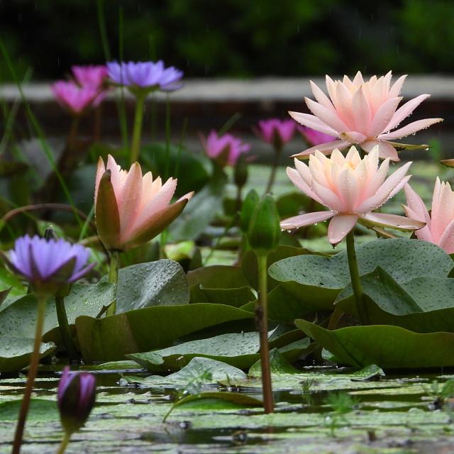 """Waterlily Pond"" stock image"