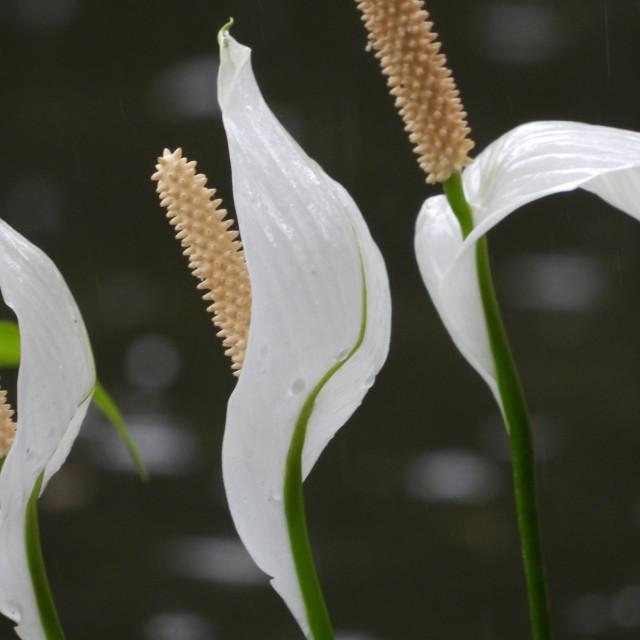 """Three Peace Lilies profile"" stock image"