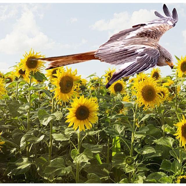 """""""Norfolk Red Kite"""" stock image"""