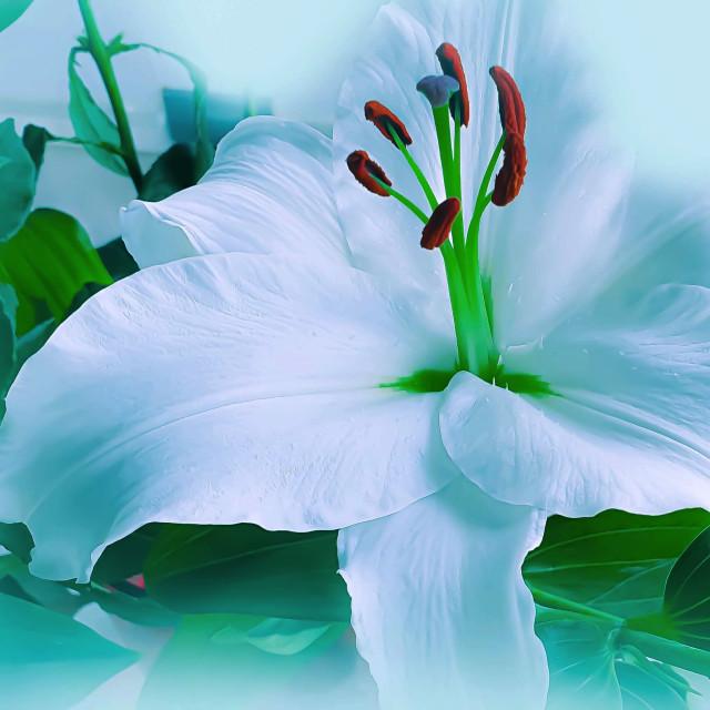 """A single White Lily"" stock image"