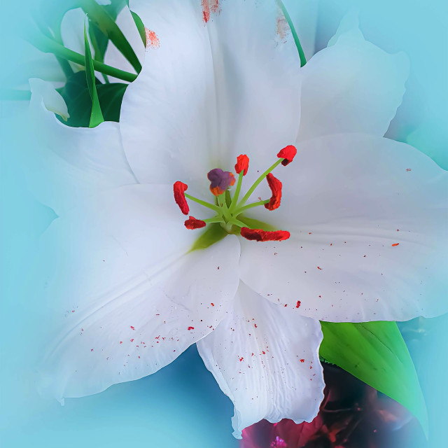 """""""White Lily flower"""" stock image"""