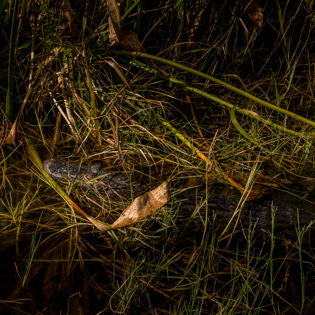 """""""A Young Alligator Resting In Shallow Water"""" stock image"""