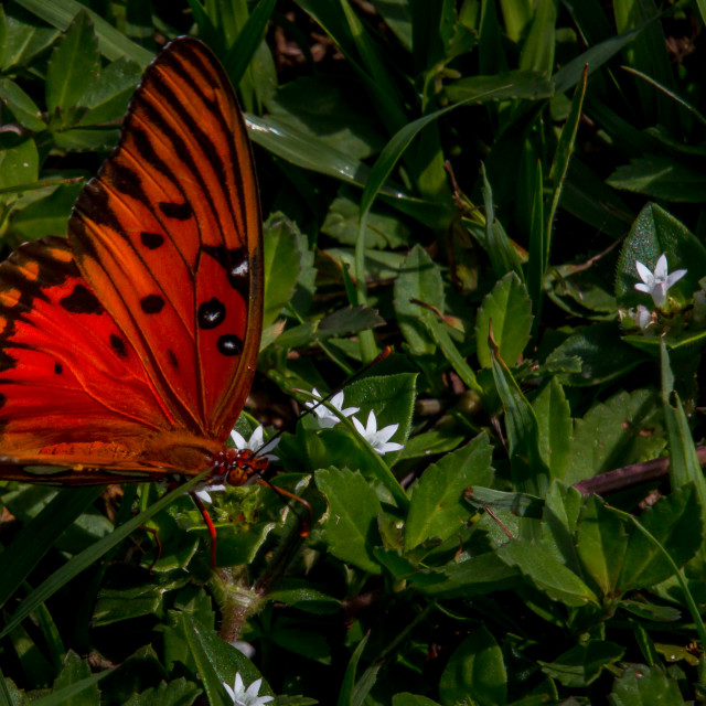 """""""A Dark Orange Butterfly Collecting Nectar"""" stock image"""