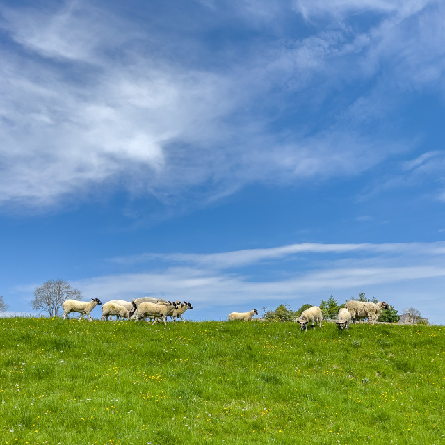 """""""Sheep Grazing in Swaledale Meadow."""" stock image"""
