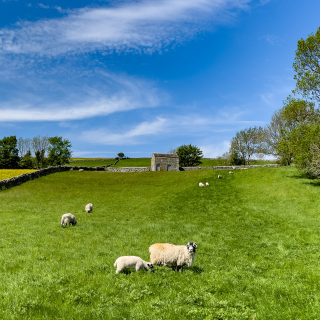 """""""Sheep and Lamb in Sunshine on Swaledale Meadow"""" stock image"""