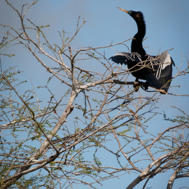 """""""Anhinga Spreading Its Wings at The Top Of A Tree"""" stock image"""