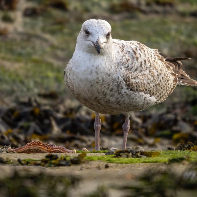 """""""Herring Gull."""" stock image"""