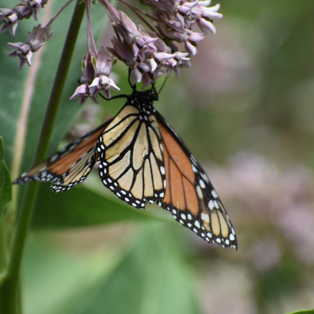 """""""A Beautiful Monarch"""" stock image"""