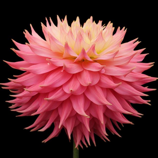 """Dahlia Coral Jupiter"" stock image"