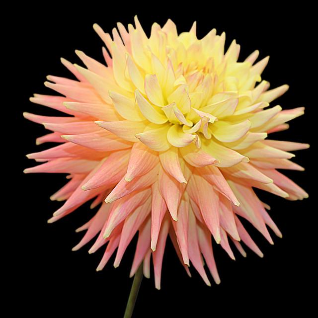 """Dahlia Pink Goldcrest"" stock image"