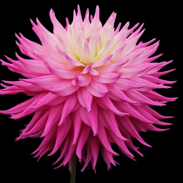 """Dahlia Pink Jupiter"" stock image"