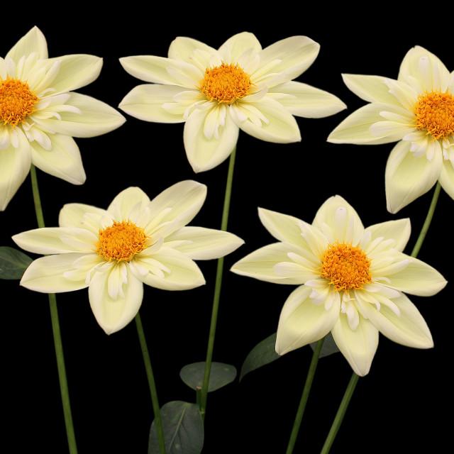 """Dahlia Claire De Lune"" stock image"
