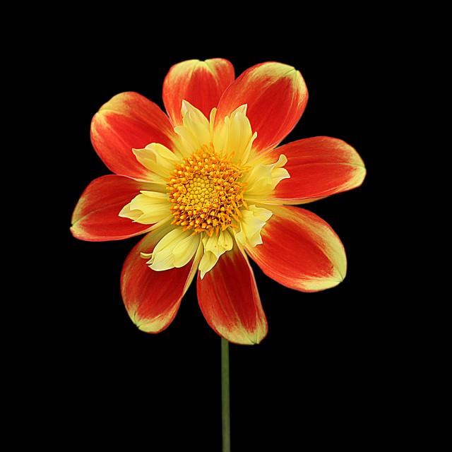 """Dahlia Pooh"" stock image"