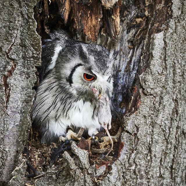 """UK - Birds of Prey - Transforming Owl"" stock image"