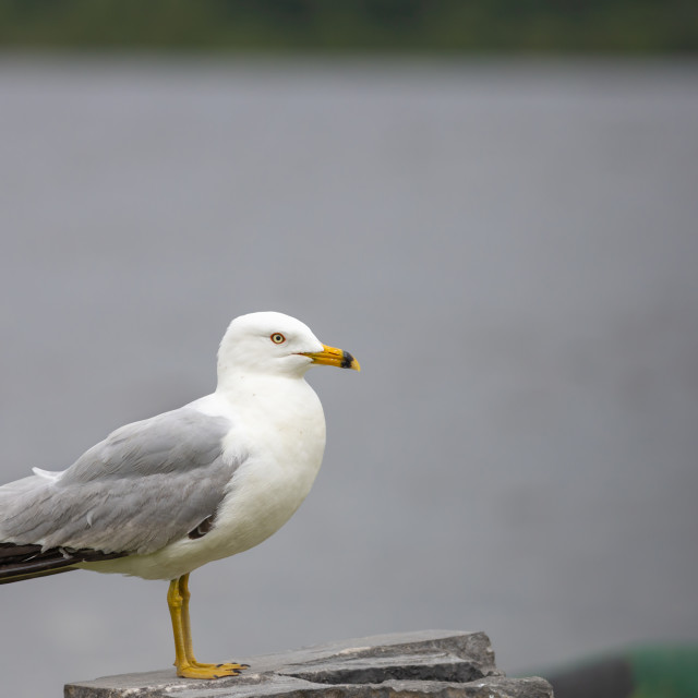 """""""Profile of a seagull on stone"""" stock image"""