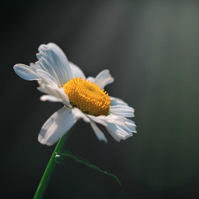"""A Sunlit Daisy, Cambridge UK."" stock image"