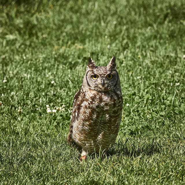 """""""UK - Birds of Prey - African Spotted Eagle Owl"""" stock image"""