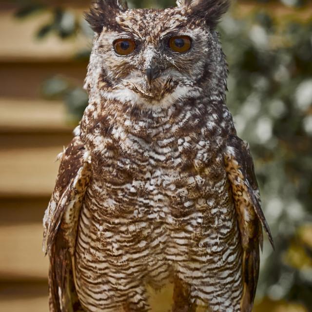 """UK - Birds of Prey - Amazonian Great Horned Owl"" stock image"