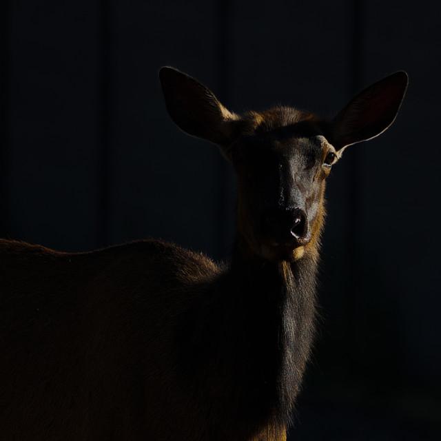 """animal-elk-shadow-sunrise-wildlife"" stock image"