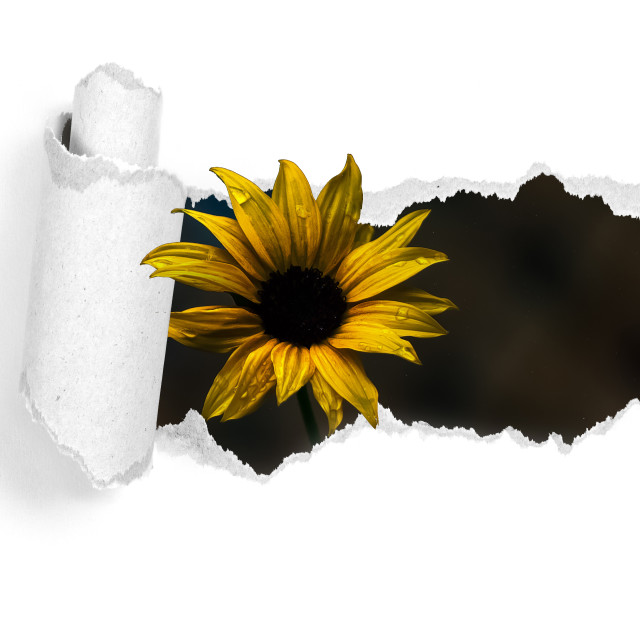 """""""daisy-flower-tear-3d"""" stock image"""