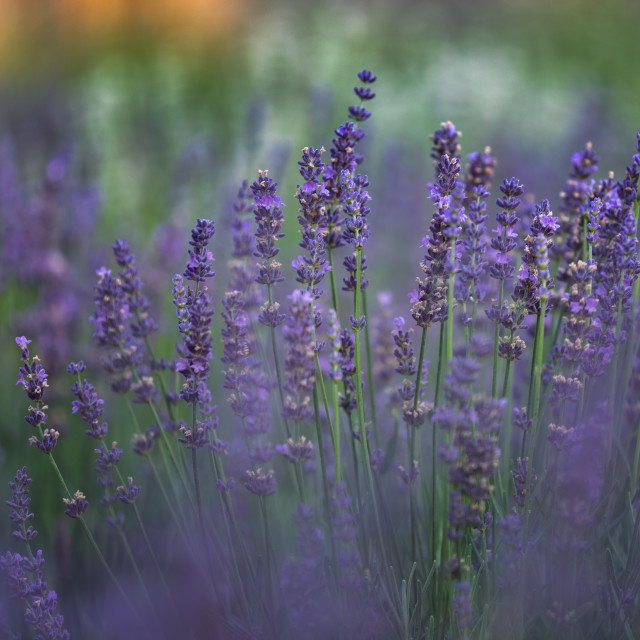 """""""Lavender Times"""" stock image"""