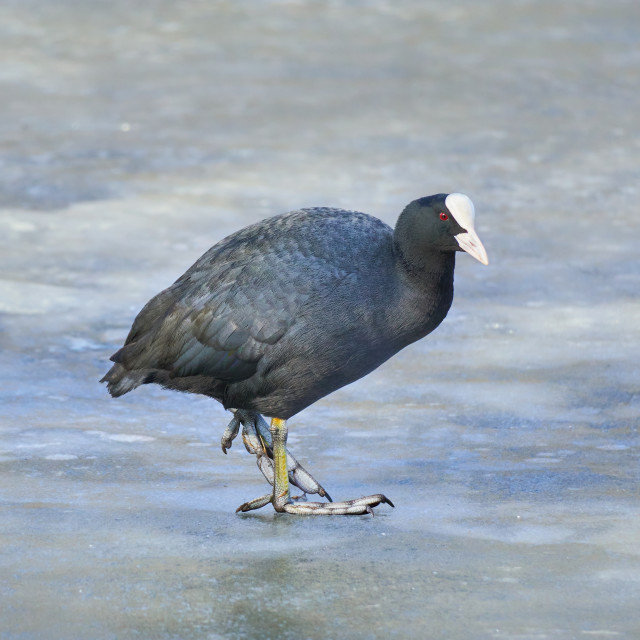 """""""Portrait of the cute australian coot on the frozen lake (Fulica atra)"""" stock image"""