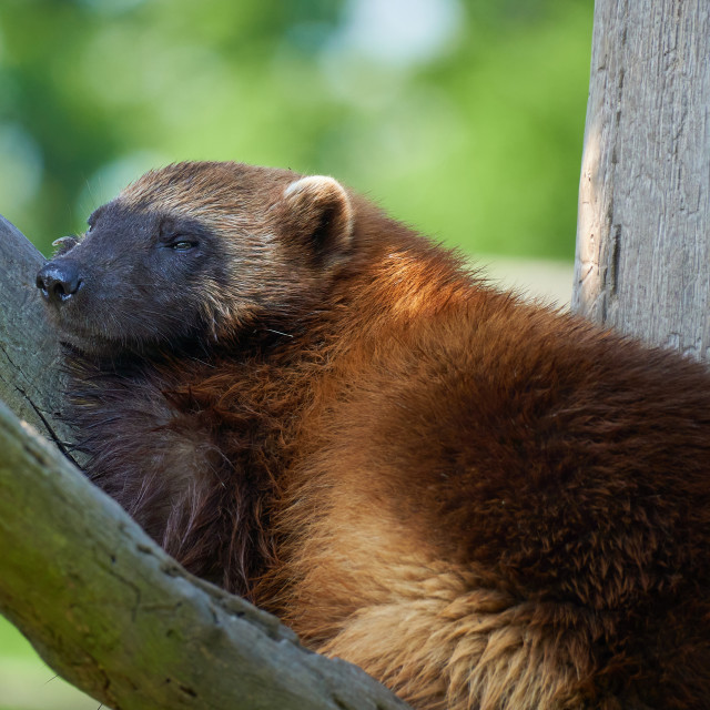 """""""Young Wolverine laying on the branch on the green background. Gulo gulo."""" stock image"""