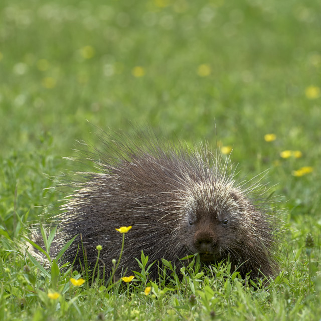 """""""Porcupine doing his thing"""" stock image"""