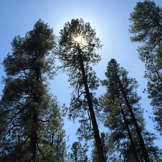"""Sun Behind Soaring Pine Tree"" stock image"